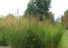 Big  bluestem SECWCD Demonstration Xeriscape Garden