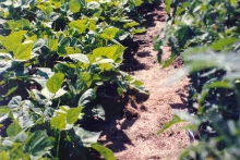 Grass clippings used as mulch in vegetable beds. Photo: CSU Extension