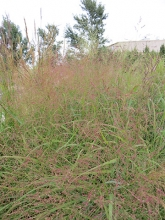Switch grass, Panicum virgatum, SE CO Water Conservancy District